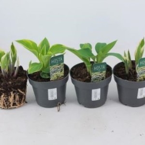 Hosta fortunei (Experts in Green)