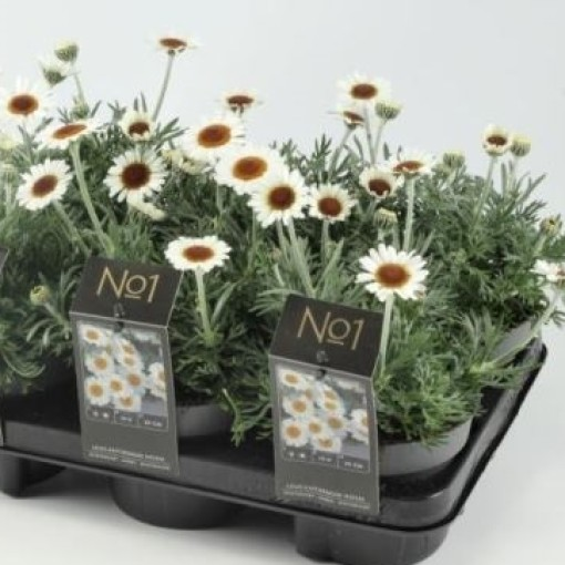 Rhodanthemum hosmariense 'African Spring' (Experts in Green)