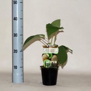 Actinidia deliciosa 'Hayward' (BOGREEN Outdoor Plants)