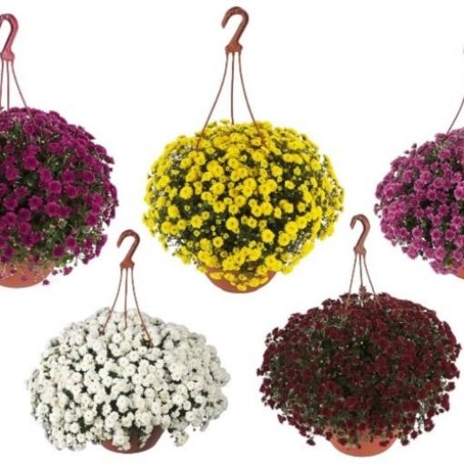 Chrysanthemum SKYFALL MIX (Bas van der Wilt)