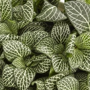 Fittonia verschaffeltii 'Bianco Verde'