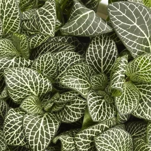 Fittonia verschaffeltii 'Bianco Verde' (Schoenmakers Tropische Potcultures)