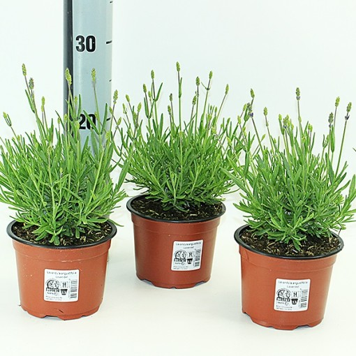 Lavandula angustifolia MIX (Experts in Green)