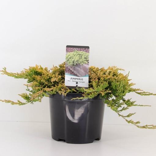Juniperus horizontalis 'Golden Carpet' (Bremmer Boomkwekerijen)