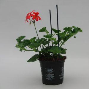 Pelargonium 'Balkon Rood'