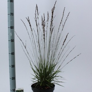 Molinia caerulea 'Moorhexe' (About Plants Zundert BV)