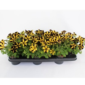 Petunia SUNFLOWER RAY (Sonneveld Plants)