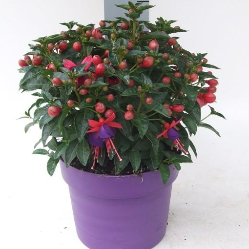 Fuchsia 'Tom Thumb' (Kwekerij Scholte)