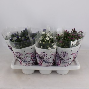 Aster SHOWMAKERS  MIX (Kwekerij Montis Zuidplas B.V.)