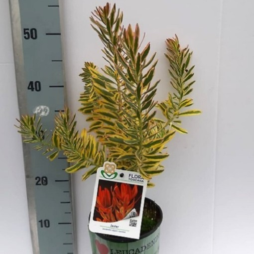 Leucadendron 'Jester' (Flora Toscana)