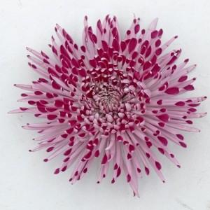 Chrysanthemum LET'S DANCE COLLECTION (De Jong Plant BV)