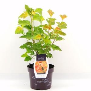 Physocarpus opulifolius AMBER JUBILEE (Hooftman boomkwekerij)