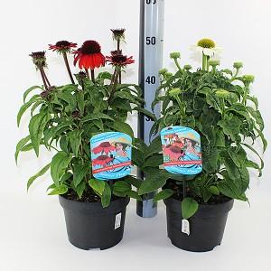Echinacea purpurea MIX