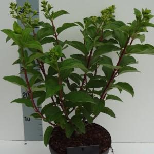 Hydrangea paniculata MIX (About Plants Zundert BV)