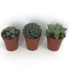 Haworthia cooperi MIX