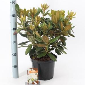 Rhododendron 'Schneewolke'