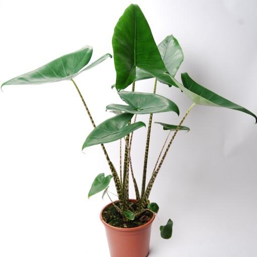 Alocasia zebrina (Van der Arend Tropical Plantcenter)