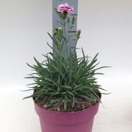 Dianthus CAPITAN DIAZ (Kwekerij Scholte)