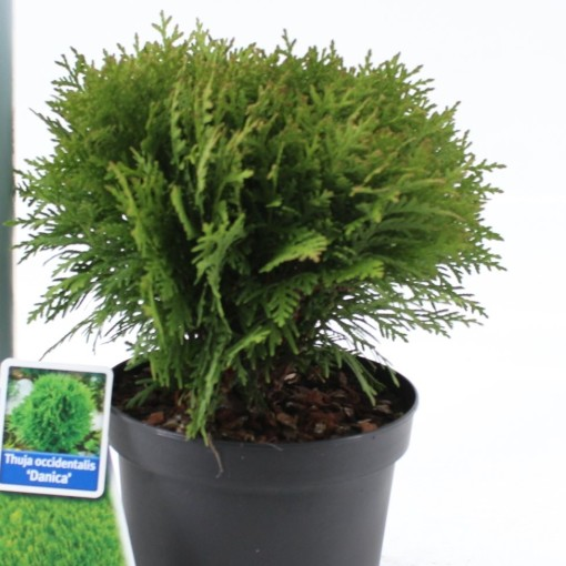 Thuja occidentalis 'Danica' (About Plants Zundert BV)