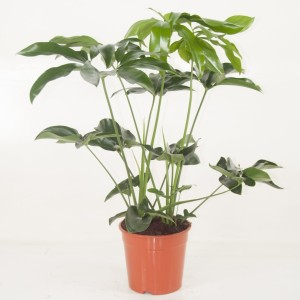 Philodendron 'Green Wonder' (Ammerlaan Green Innovater)
