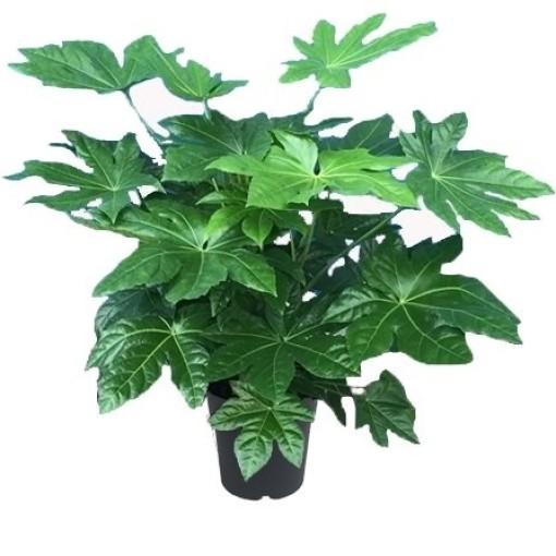 Fatsia japonica (JK Plant)