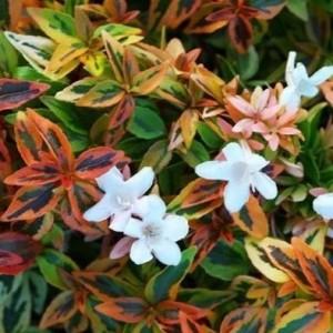 Abelia x grandiflora 'Kaleidoscope' (About Plants Zundert BV)