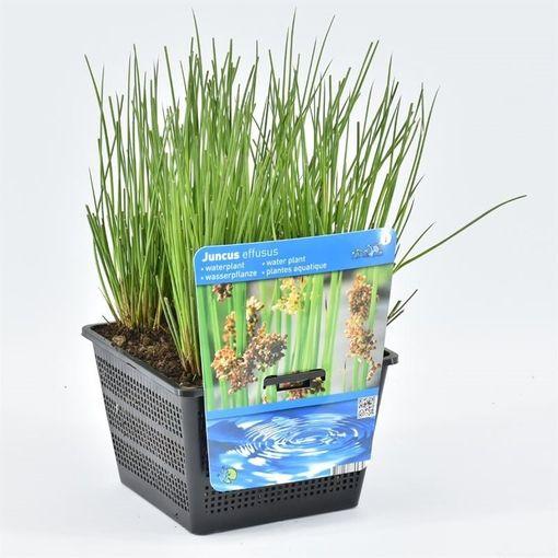 Juncus effusus (Moerings Waterplanten)