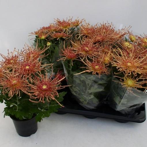 Chrysanthemum 'Bronze Spider' (Hofstede Hovaria)