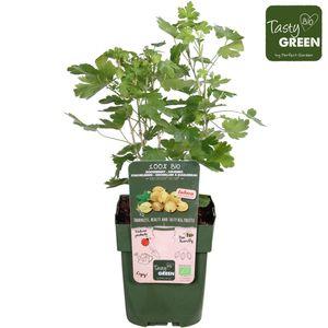 Ribes uva-crispa EASYCRISP LADY SUN