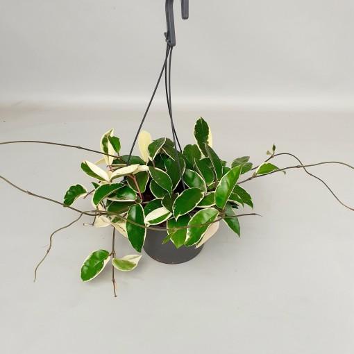 Hoya carnosa 'Krimson Queen' (van der Velden, Hkw.)