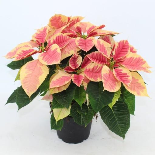 Euphorbia pulcherrima CHRISTMAS BEAUTY MARBLE (Joy Plant)