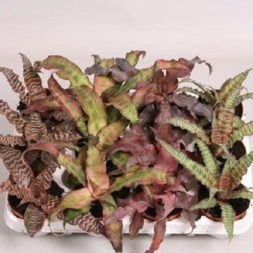 Cryptanthus MIX (van der Velden, Hkw.)