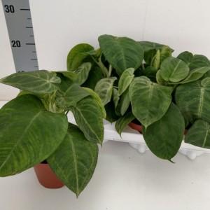Syngonium macrophyllum 'Frosted Heart' (RuBa Baers)