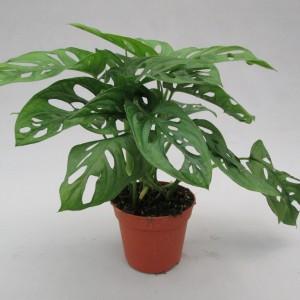 Monstera obliqua 'Monkey Leaf' (JM plants)