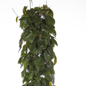 Philodendron scandens (Ammerlaan, The Green Innovater)