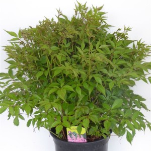 Astilbe ARENDSII MIX (Experts in Green)