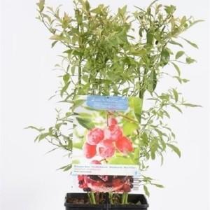 Vaccinium corymbosum 'Pink Lemonade' (Fruithof)