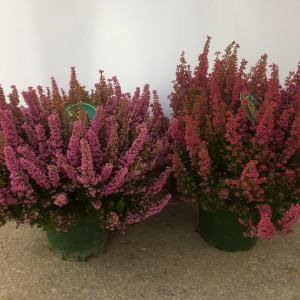 Erica gracilis BEAUTY QUEEN MIX