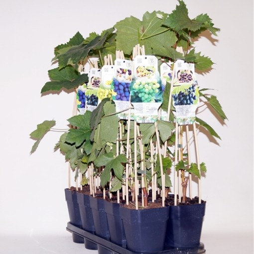 Vitis MIX (BOGREEN Outdoor Plants)