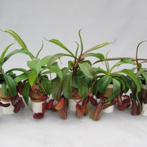 Nepenthes MIX