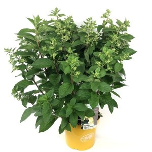 Hydrangea paniculata CANDLELIGHT