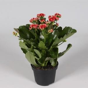 Kalanchoe blossfeldiana CALANDIVA RED (Amarantis)