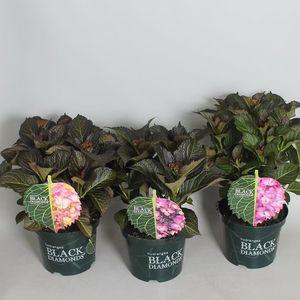 Hydrangea macrophylla BLACK DIAMONDS MIX