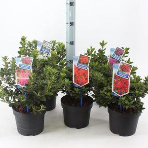 Rhododendron JAPANESE AZALEA MIX