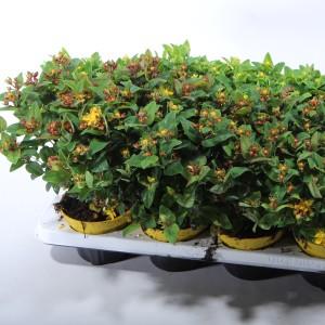 Hypericum androsaemum MAGIC MARBLES MIX