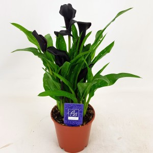 Zantedeschia 'Black Hero'