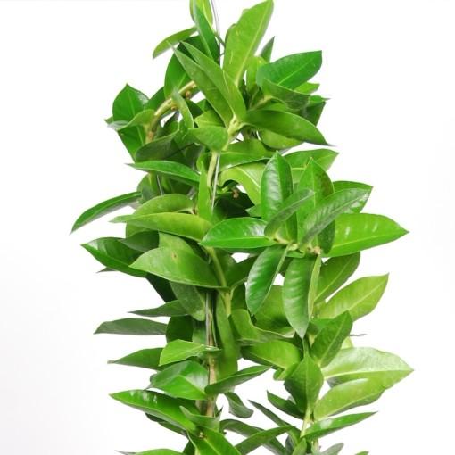 Hoya densifolia (Van der Arend Tropical Plantcenter)