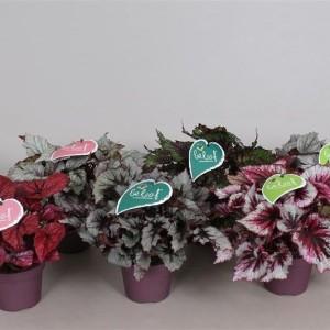 Begonia BELEAF MIX (Vireõ Plant Sales)