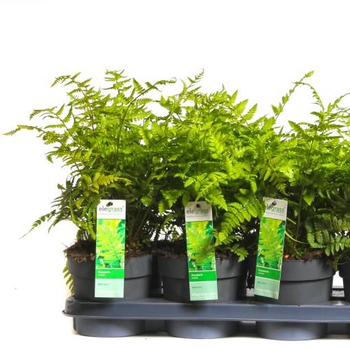 Dryopteris remota (Hoogeveen Plants)