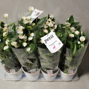 Anthurium 'Flamingo White' (Flamingo Plant)